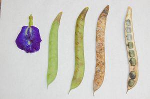 Clitoria_ternatea_beans
